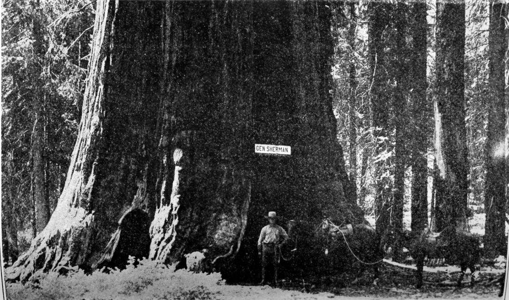 http://www.yosemite.ca.us/library/big_trees_of_california/images/sherman_tree.jpg
