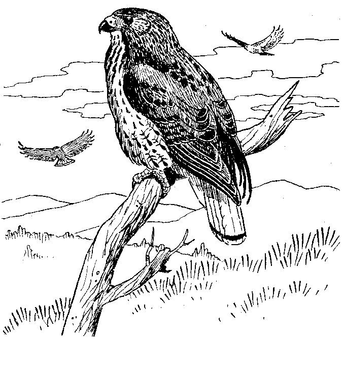 Free Coloring Pages Tailed Hawk Coloring Page