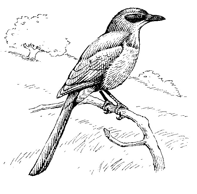 THE TURPIAL bird Colouring Pages (page 2)